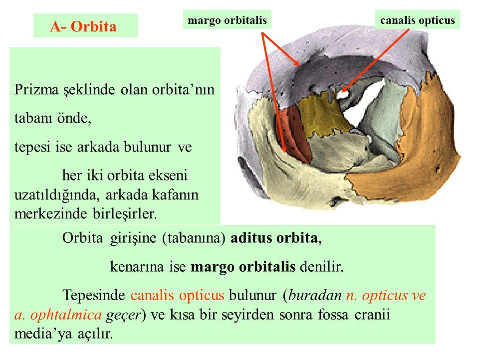 Prizma şeklinde olan orbita'nın tabanı önde,