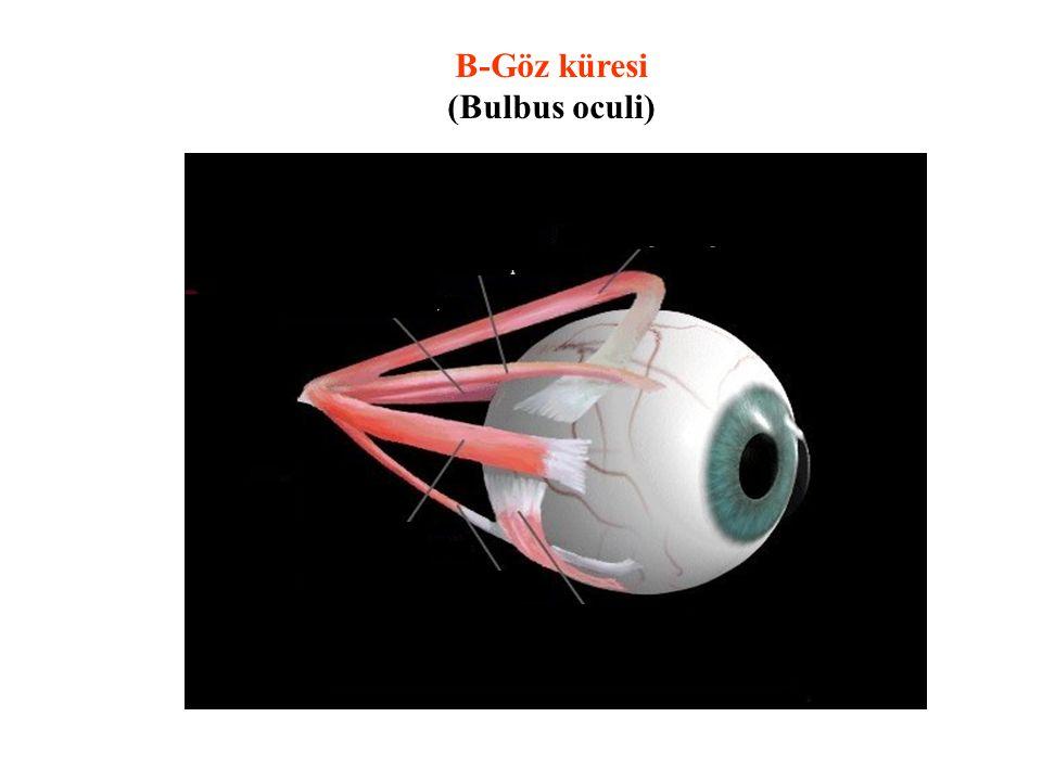 B-Göz küresi (Bulbus oculi) . . . . . .
