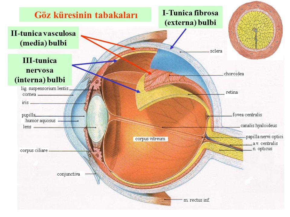 Göz küresinin tabakaları