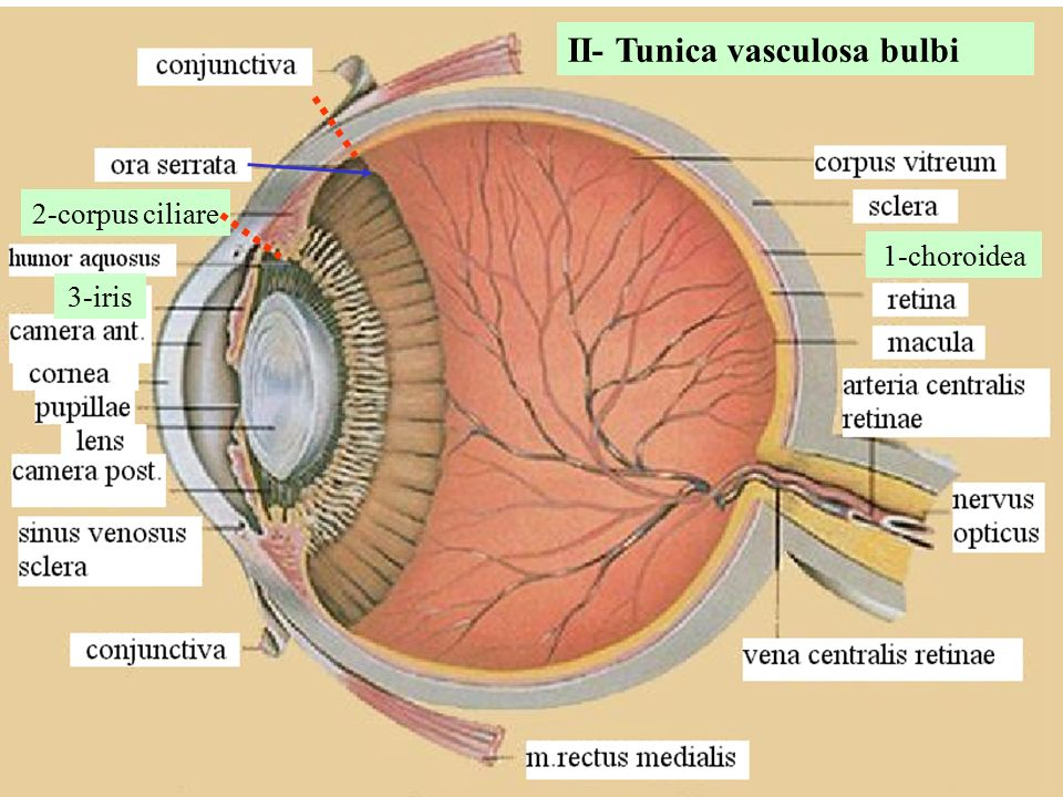 II- Tunica vasculosa bulbi