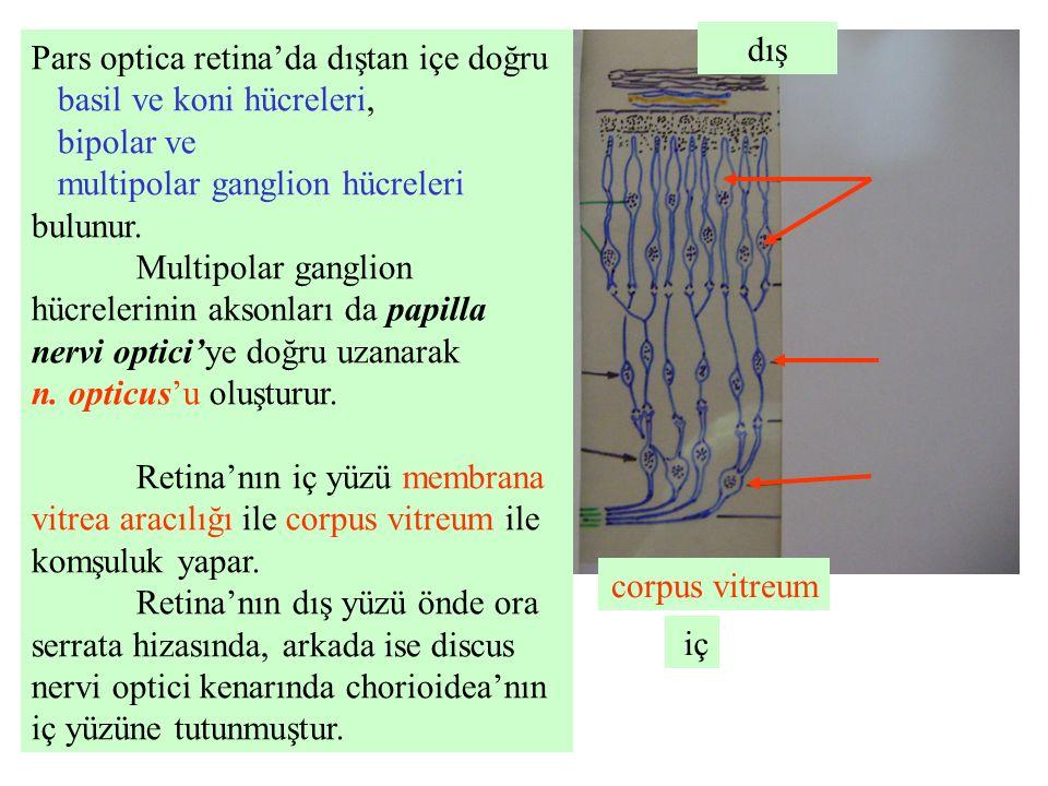dış Pars optica retina'da dıştan içe doğru. basil ve koni hücreleri, bipolar ve. multipolar ganglion hücreleri bulunur.
