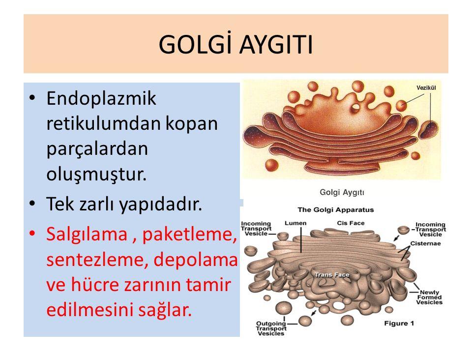 GOLGİ AYGITI Endoplazmik retikulumdan kopan parçalardan oluşmuştur.