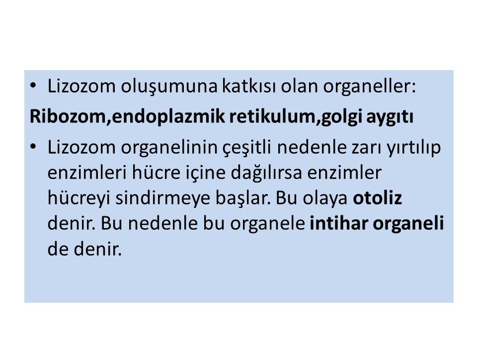 Lizozom oluşumuna katkısı olan organeller: