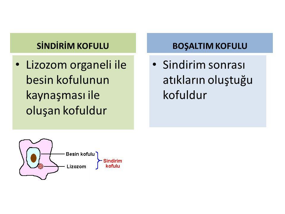 Lizozom organeli ile besin kofulunun kaynaşması ile oluşan kofuldur