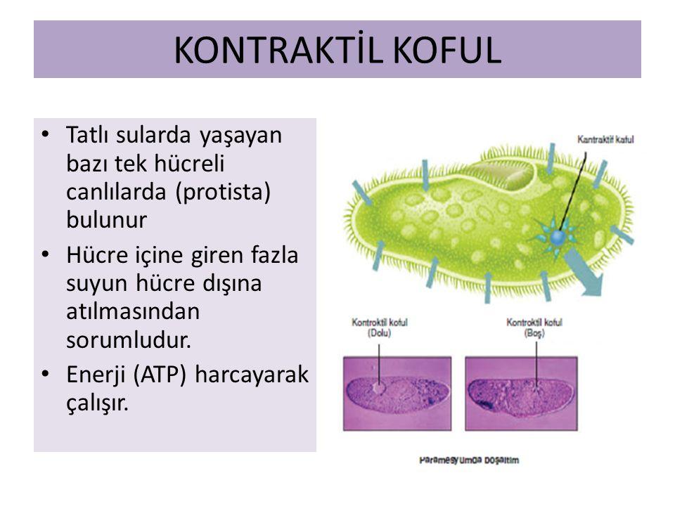 KONTRAKTİL KOFUL Tatlı sularda yaşayan bazı tek hücreli canlılarda (protista) bulunur.
