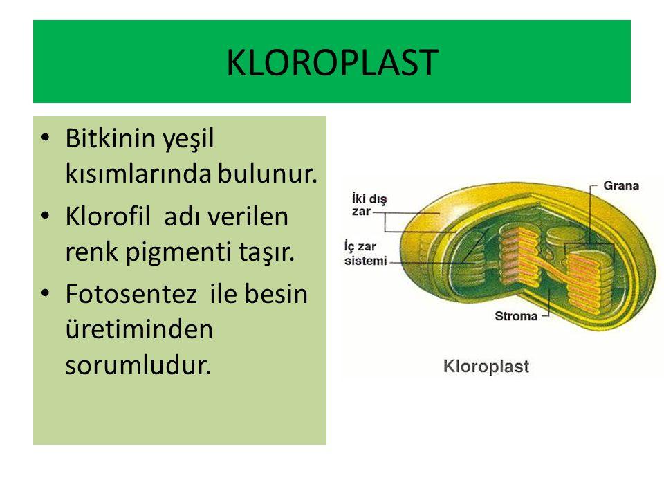 KLOROPLAST Bitkinin yeşil kısımlarında bulunur.