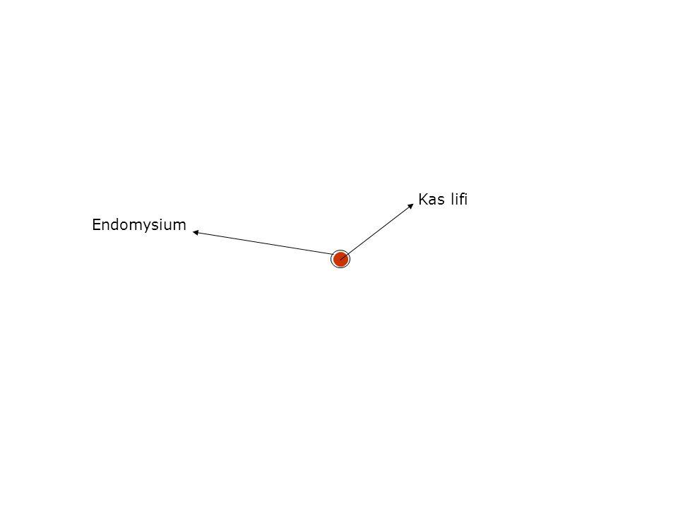 Kas lifi Endomysium