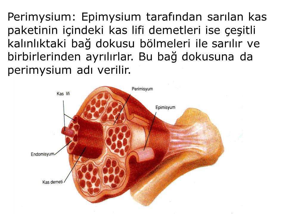 Perimysium: Epimysium tarafından sarılan kas paketinin içindeki kas lifi demetleri ise çeşitli kalınlıktaki bağ dokusu bölmeleri ile sarılır ve birbirlerinden ayrılırlar.