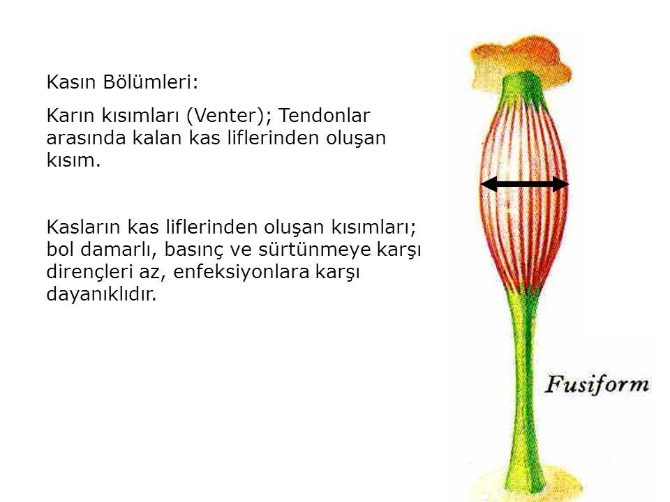 Kasın Bölümleri: Karın kısımları (Venter); Tendonlar arasında kalan kas liflerinden oluşan kısım.