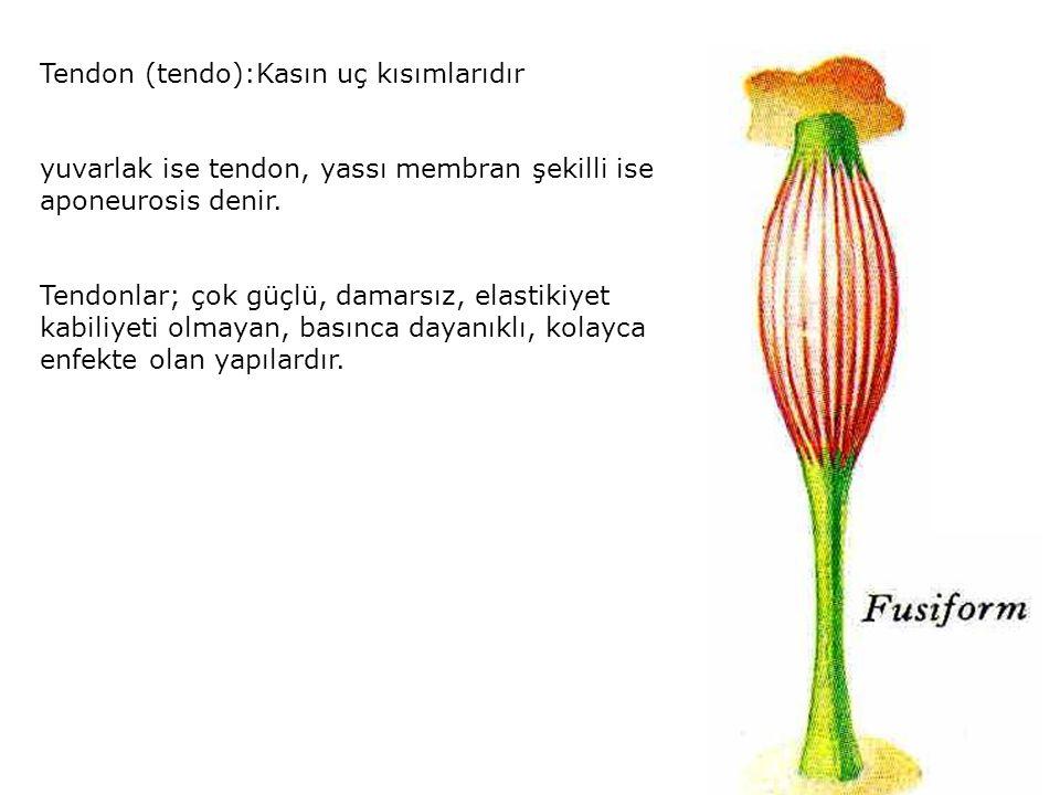 Tendon (tendo):Kasın uç kısımlarıdır