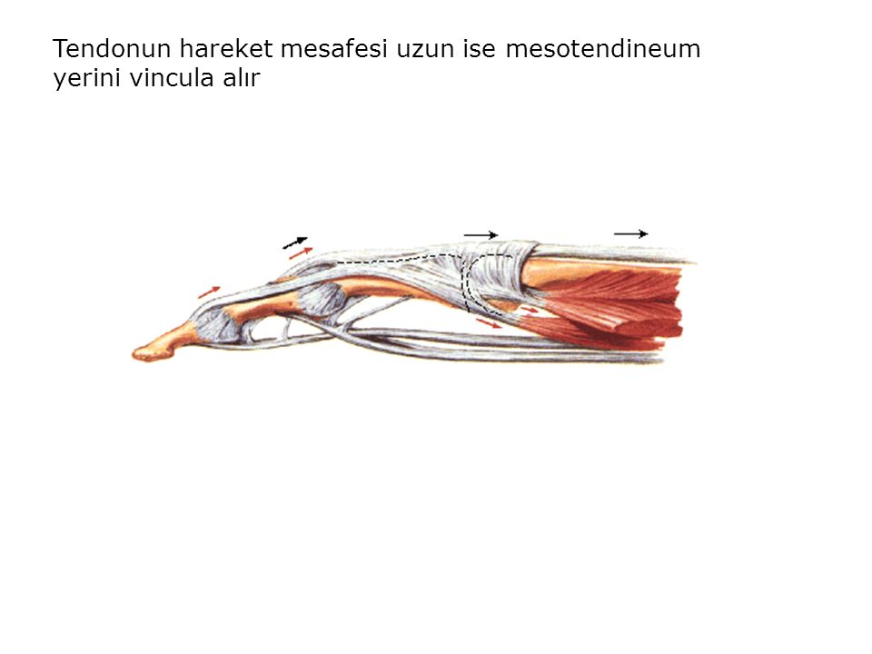 Tendonun hareket mesafesi uzun ise mesotendineum yerini vincula alır