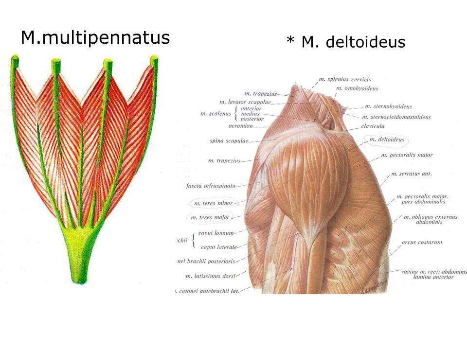 M.multipennatus * M. deltoideus