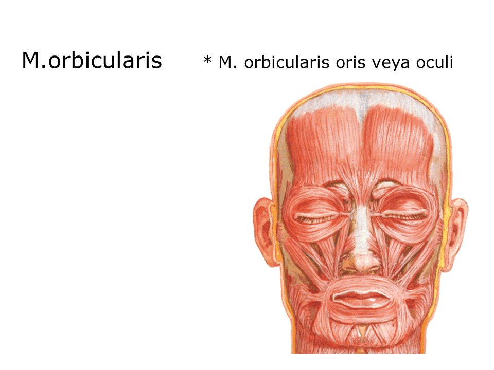M.orbicularis * M. orbicularis oris veya oculi