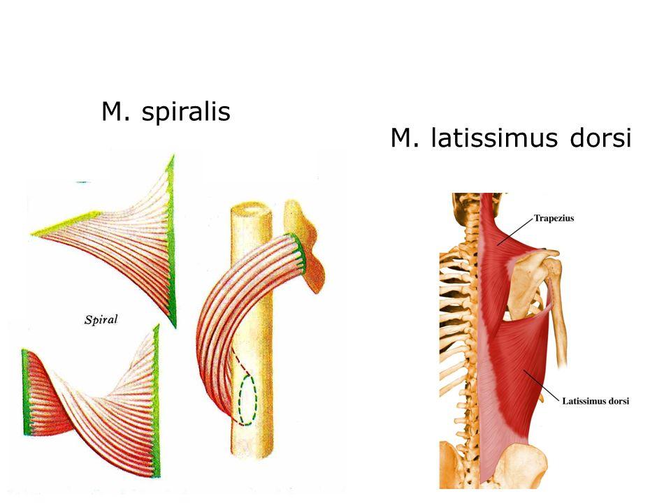 M. spiralis M. latissimus dorsi