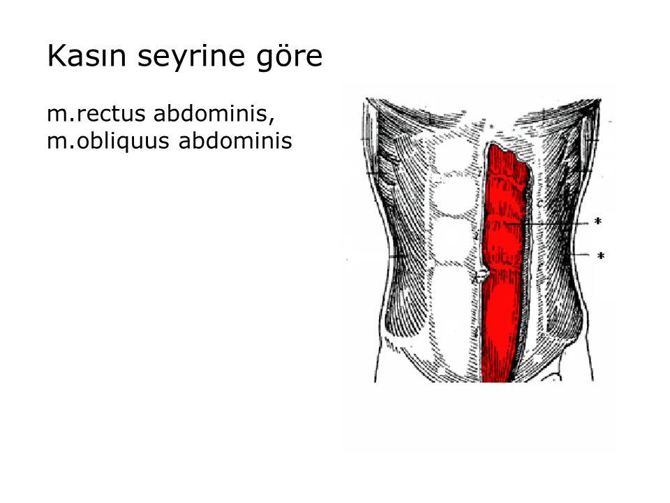 Kasın seyrine göre m.rectus abdominis, m.obliquus abdominis