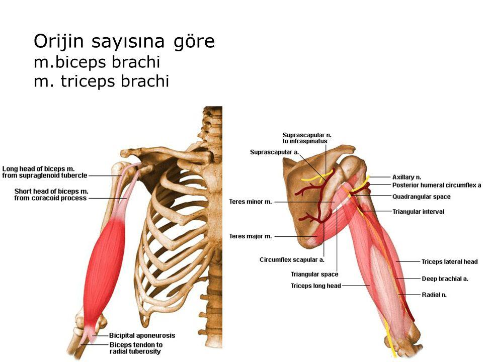 Orijin sayısına göre m.biceps brachi m. triceps brachi