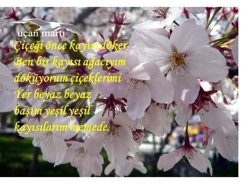 Çiçeği önce kayısı döker Ben bir kayısı ağacıyım döküyorum çiçeklerimi Yer beyaz beyaz başım yeşil yeşil kayısılarım memede.