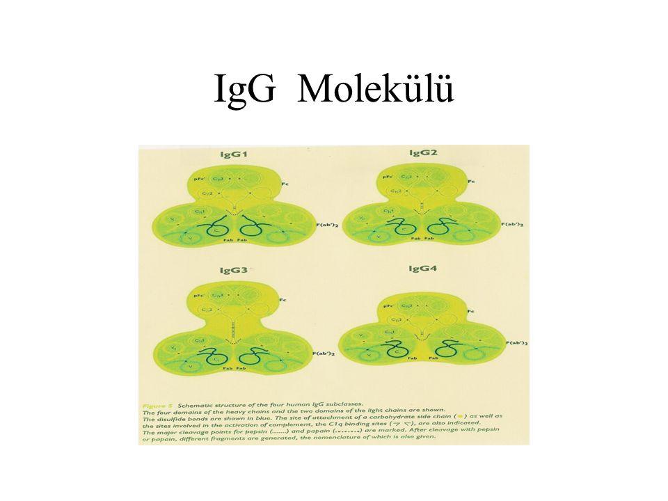 IgG Molekülü