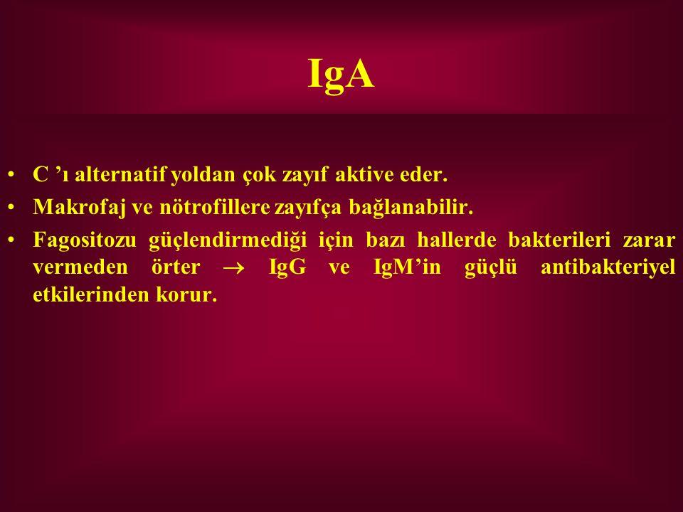 IgA C 'ı alternatif yoldan çok zayıf aktive eder.