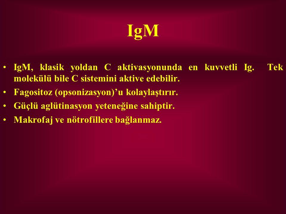 IgM IgM, klasik yoldan C aktivasyonunda en kuvvetli Ig. Tek molekülü bile C sistemini aktive edebilir.