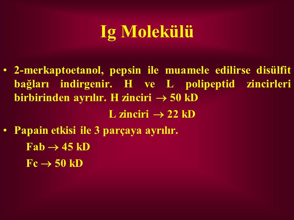 Ig Molekülü