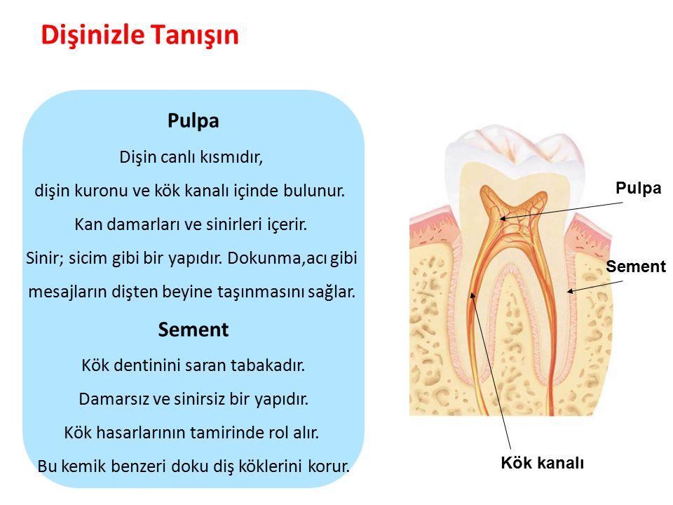 Dişinizle Tanışın Pulpa Sement Dişin canlı kısmıdır,