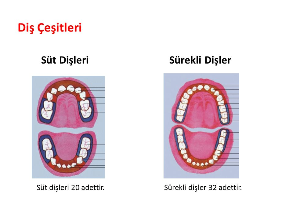 Diş Çeşitleri Süt Dişleri Sürekli Dişler Süt dişleri 20 adettir.