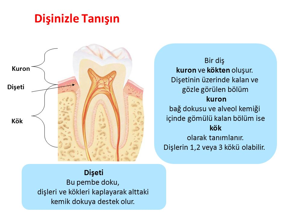 Dişinizle Tanışın Bir diş kuron ve kökten oluşur.