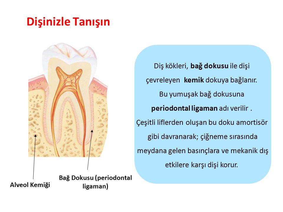 Bağ Dokusu (periodontal ligaman)