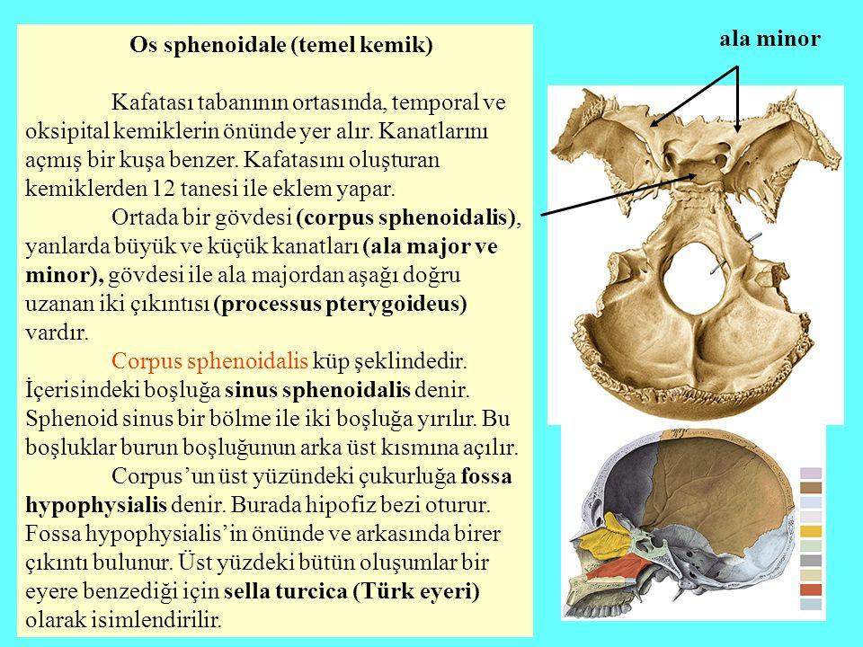 ala minor Os sphenoidale (temel kemik)