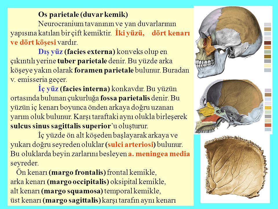 Os parietale (duvar kemik)