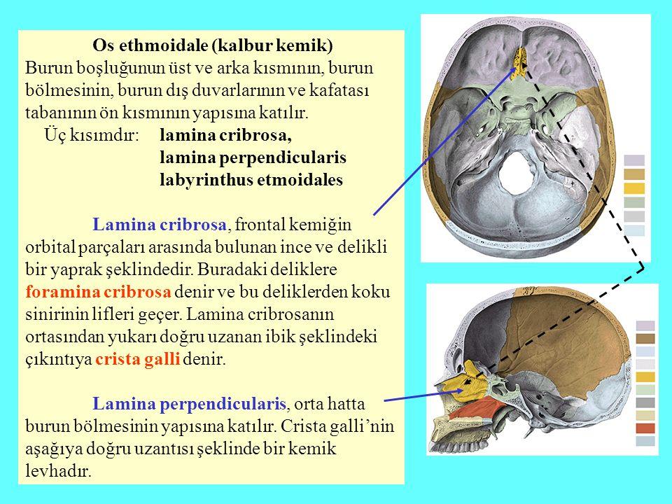 Os ethmoidale (kalbur kemik)