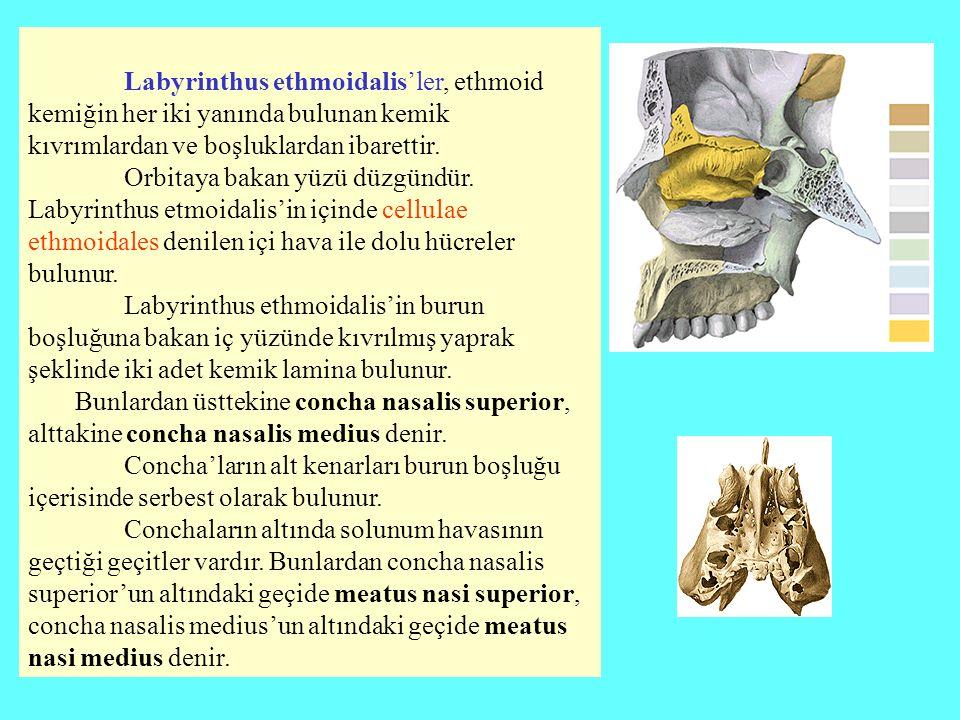 Labyrinthus ethmoidalis'ler, ethmoid kemiğin her iki yanında bulunan kemik kıvrımlardan ve boşluklardan ibarettir.