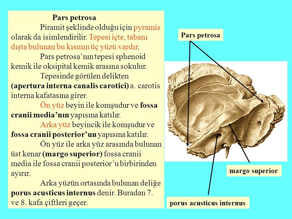 Ön yüz beyin ile komşudur ve fossa cranii media'nın yapısına katılır.
