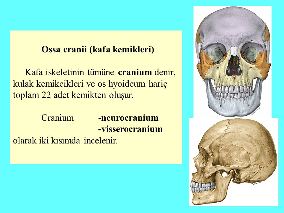 Ossa cranii (kafa kemikleri)