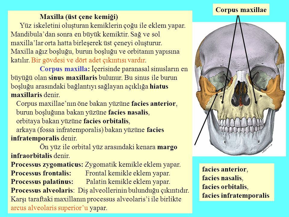 Corpus maxillae Maxilla (üst çene kemiği)