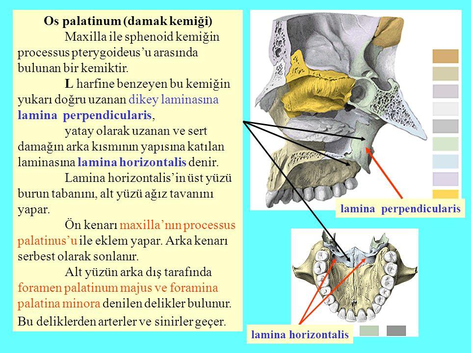Os palatinum (damak kemiği)