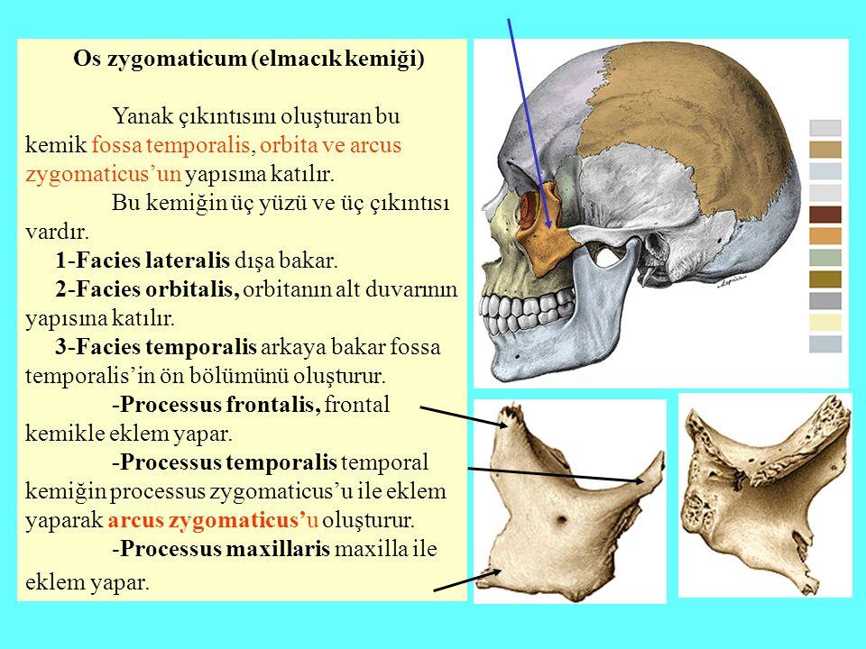Os zygomaticum (elmacık kemiği)
