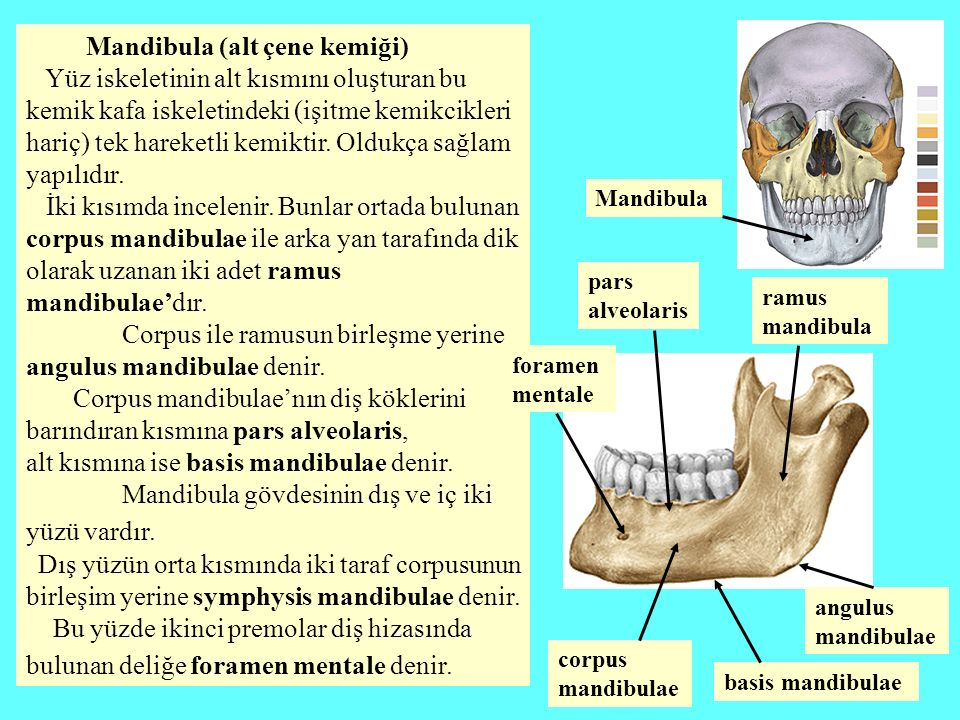 Mandibula (alt çene kemiği)