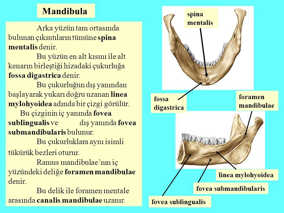 Mandibula spina mentalis. Arka yüzün tam ortasında bulunan çıkıntıların tümüne spina mentalis denir.