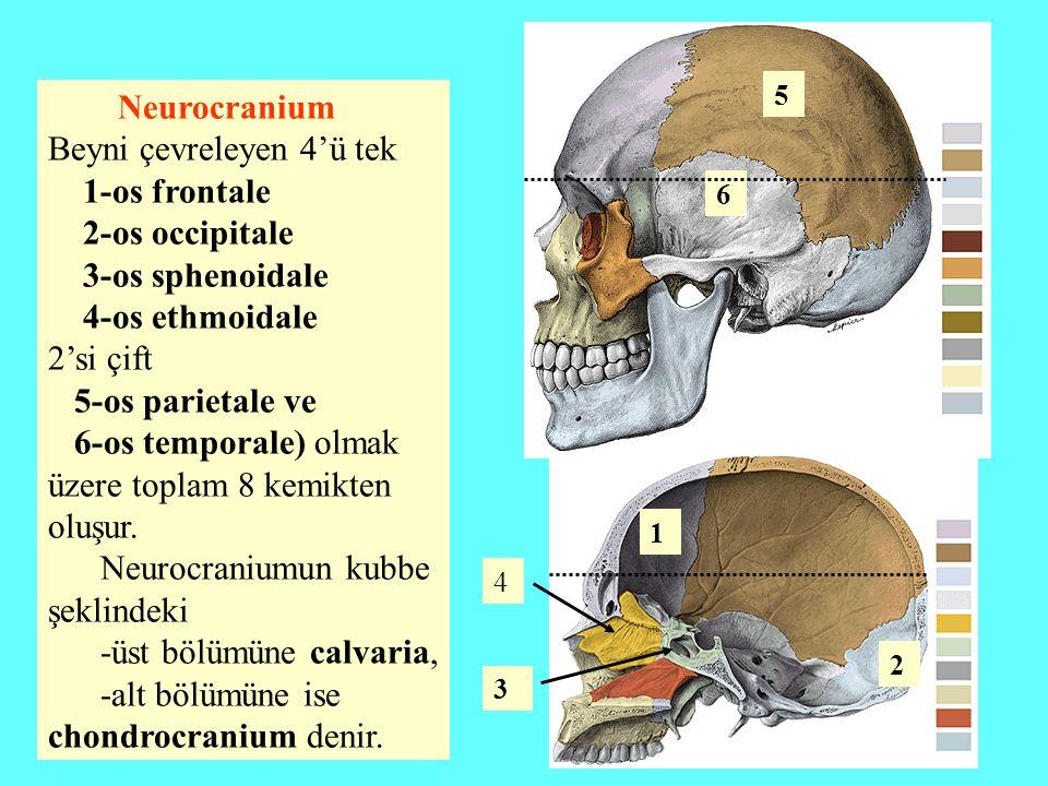 Beyni çevreleyen 4'ü tek 1-os frontale 2-os occipitale