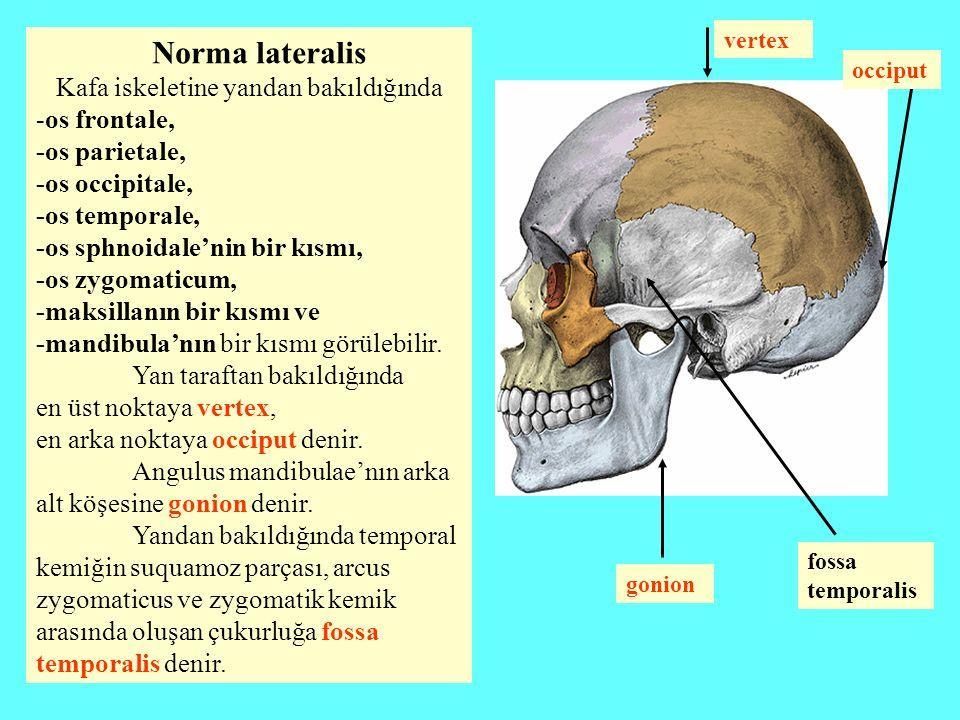 Kafa iskeletine yandan bakıldığında -os frontale, -os parietale,