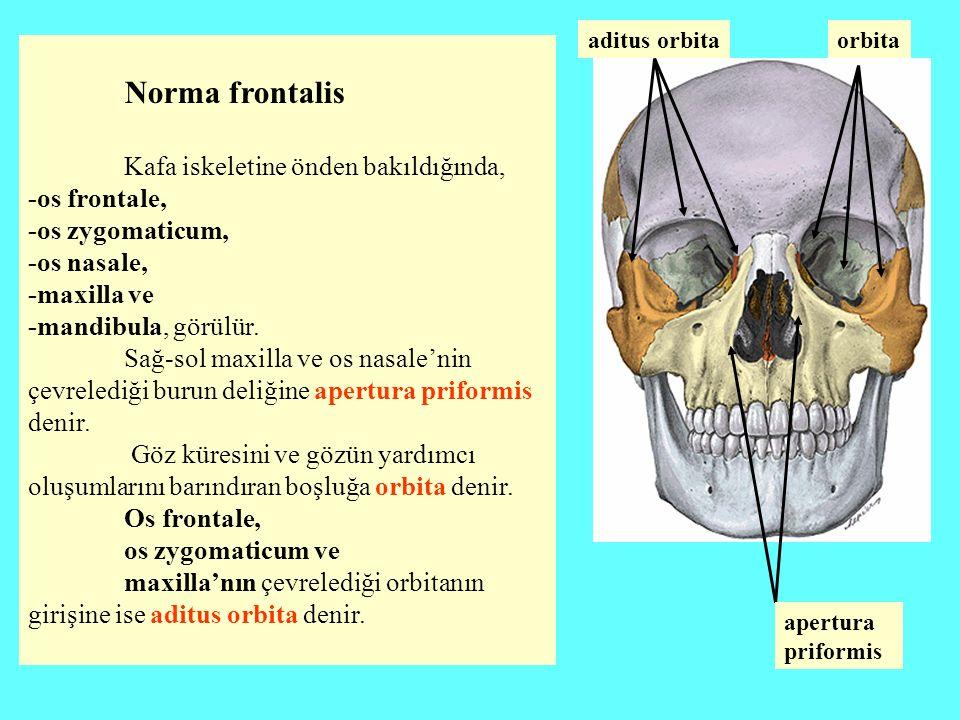 Kafa iskeletine önden bakıldığında, -os frontale, -os zygomaticum,