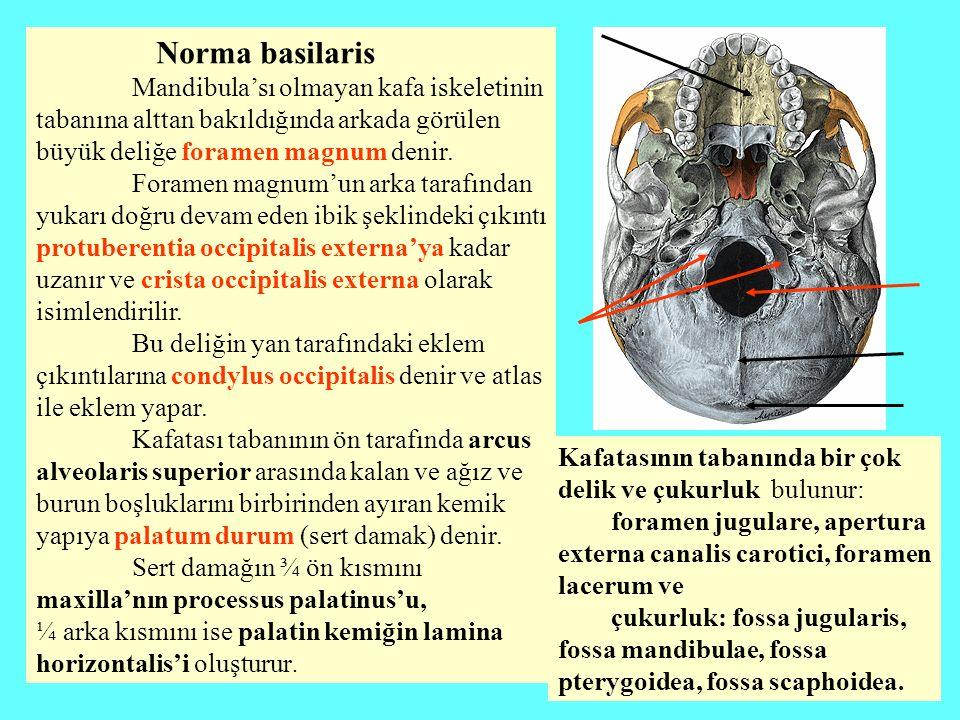 Sert damağın ¾ ön kısmını maxilla'nın processus palatinus'u,
