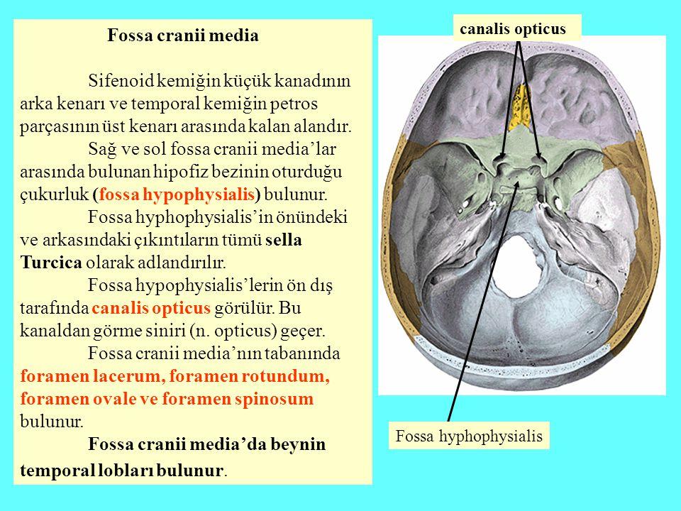 Fossa cranii media'da beynin temporal lobları bulunur.
