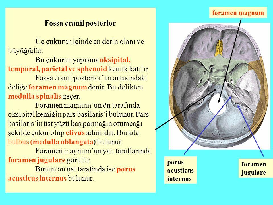 Fossa cranii posterior Üç çukurun içinde en derin olanı ve büyüğüdür.