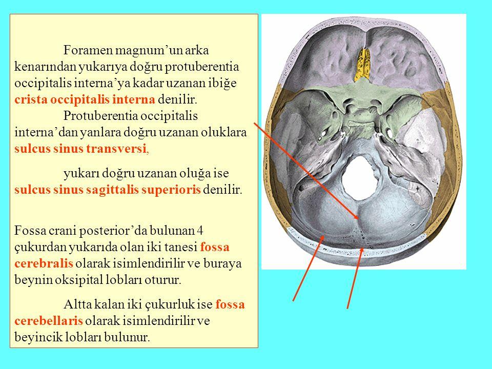 Foramen magnum'un arka kenarından yukarıya doğru protuberentia occipitalis interna'ya kadar uzanan ibiğe crista occipitalis interna denilir. Protuberentia occipitalis interna'dan yanlara doğru uzanan oluklara sulcus sinus transversi,