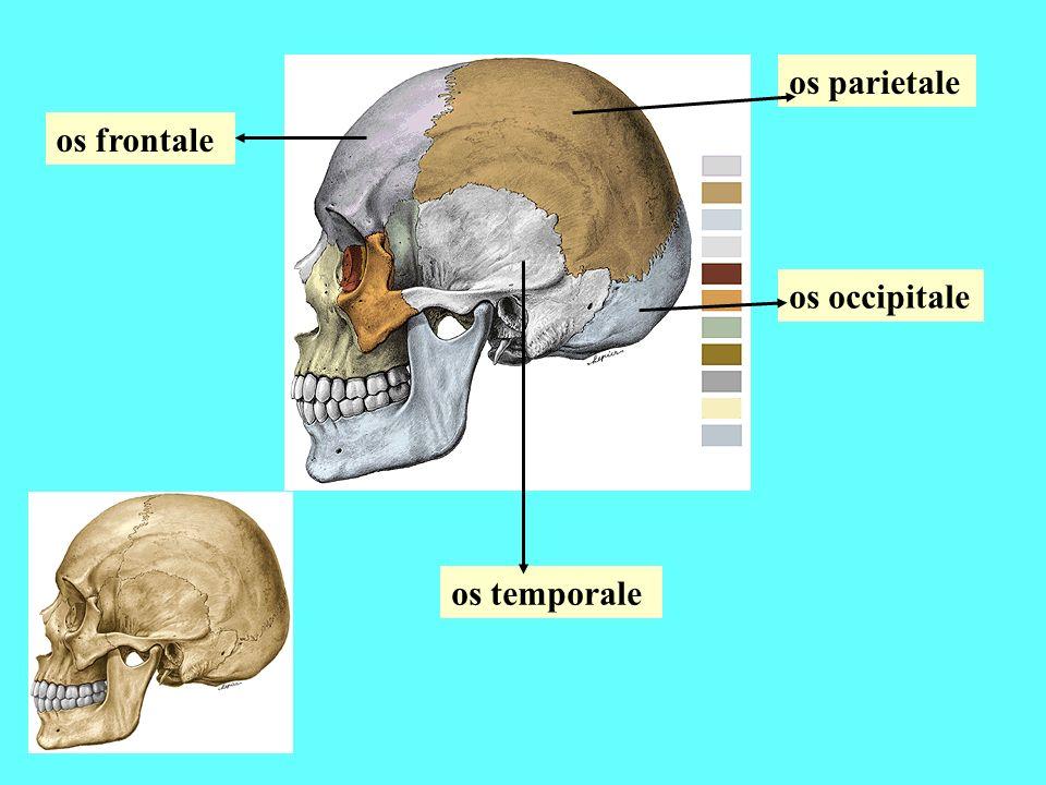 os parietale os frontale os occipitale os temporale