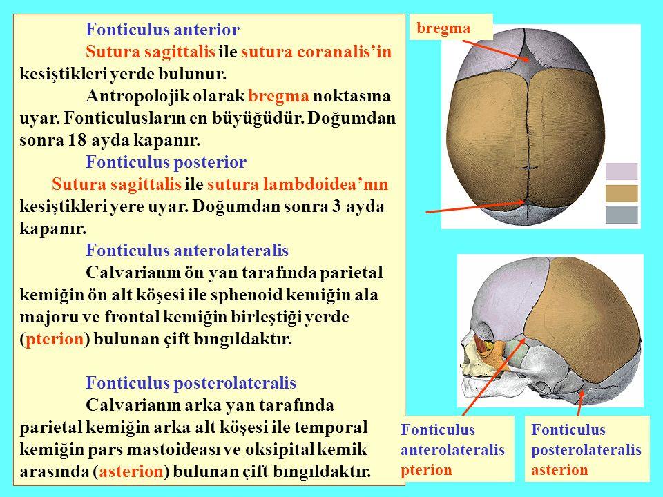 Sutura sagittalis ile sutura coranalis'in kesiştikleri yerde bulunur.