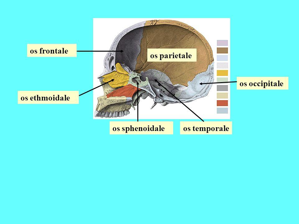 os frontale os parietale os occipitale os ethmoidale os sphenoidale os temporale